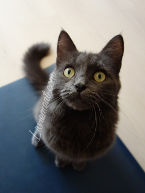 Chat gris curieux