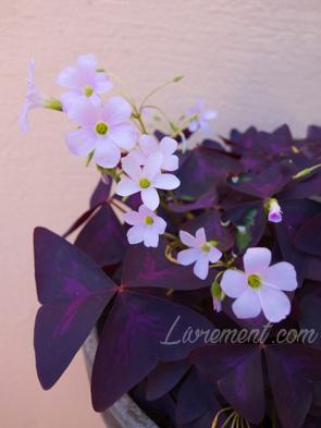 Oxalis triangularis pourpre et petites fleurs roses