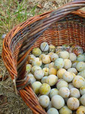 Récolte de prunes Reines-Claudes