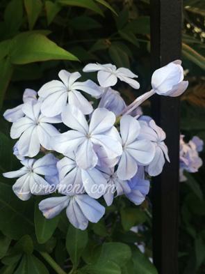 Les fleurs bleues d'un dentelaire du cap