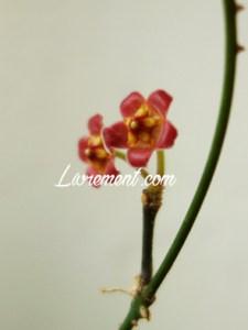 Floraison d'hoya davidcummungii