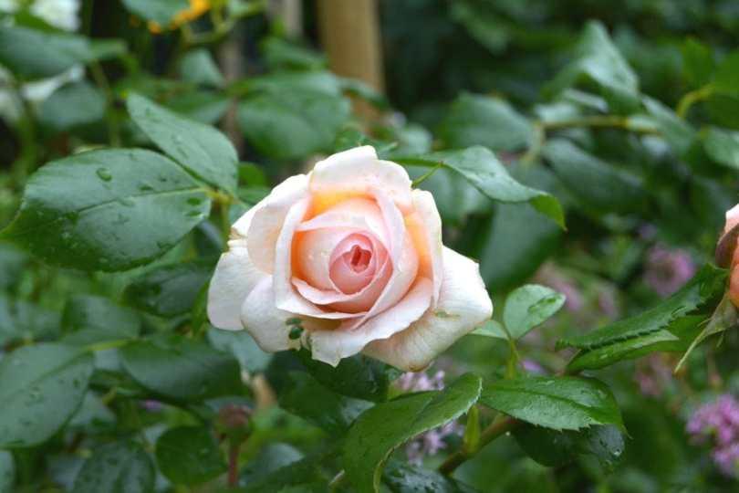 Mariager_rosen
