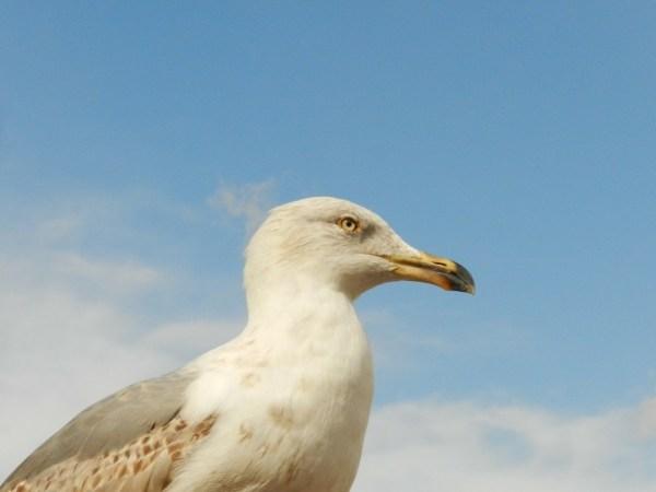 seagull-284719_1920