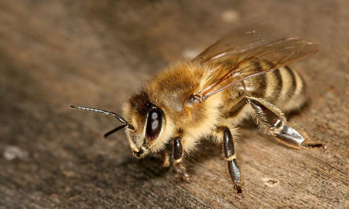 1200px-Apis_mellifera_carnica_worker_hive_entrance_3