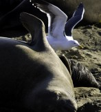 A female Elephant Seal with her pup, plus the ever-present seagulls looking for afterbirth to feast on.
