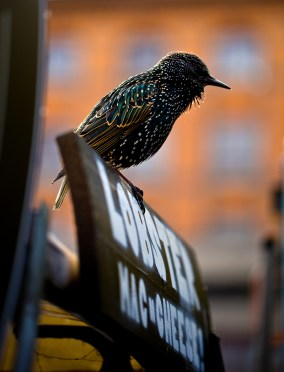My friend Martin informs me this is a Starling and when with all of his friends, can do aerial ballets. Google it: Starling murmurations.