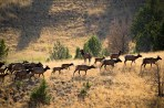 This one is my favorite, a herd of elk beautifully backlit, as luck would have it.