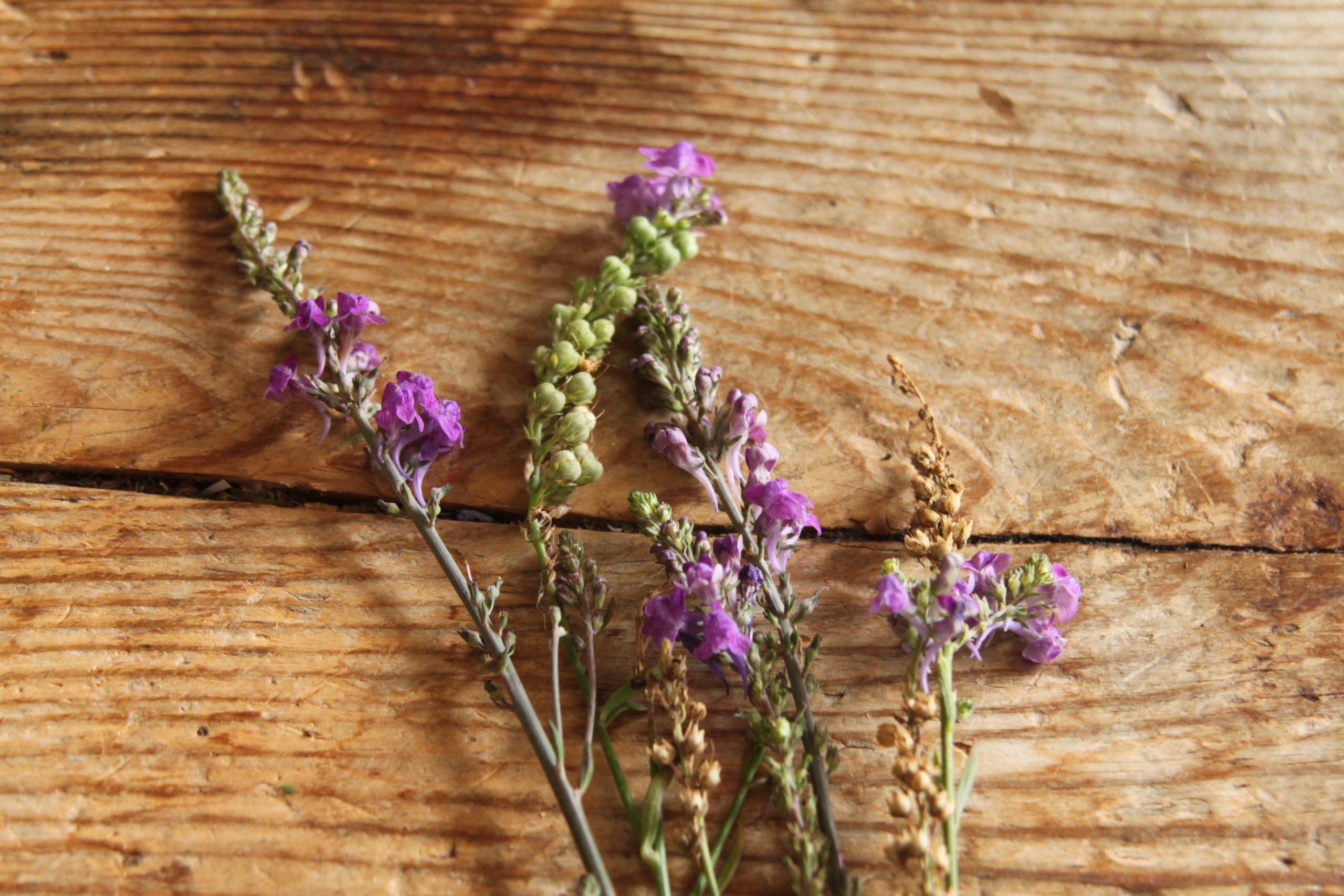 The Everyday Lore Project - Purple Toadflax