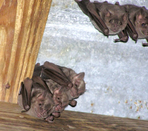 Bats in the Reef Bay Sugar Plantation ruins.
