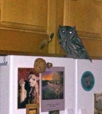 Athena, in the guise of a western Screech owl, sitting on my refrigerator.
