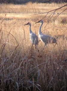A pair of Sandhill Cranes in late afternoon light.