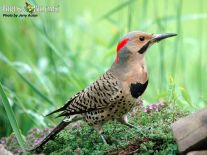 Thanks to Birds and blooms for this great photo of a Norther Flicker