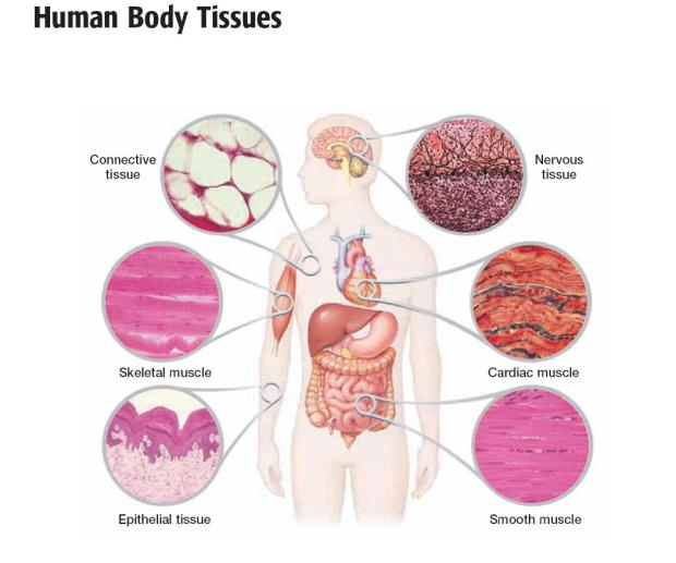 Structure of the main tissues of the body – Liz Blamire's