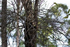 Remnants of a mistletoe bush