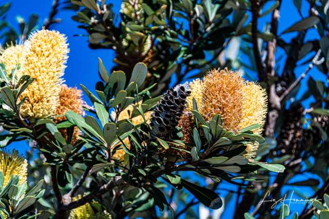 Banksia and Bees Nora Head July 2019-0984