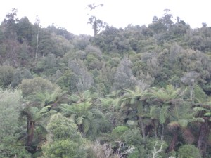 A Sea of Green... The Podocarp Forest of North Island, New Zealand