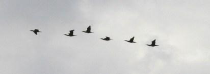 Cormorants over the Severn