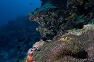 Clownfish at Layang Layang