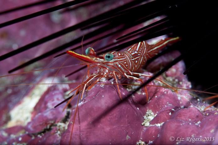 Dancing shrimp