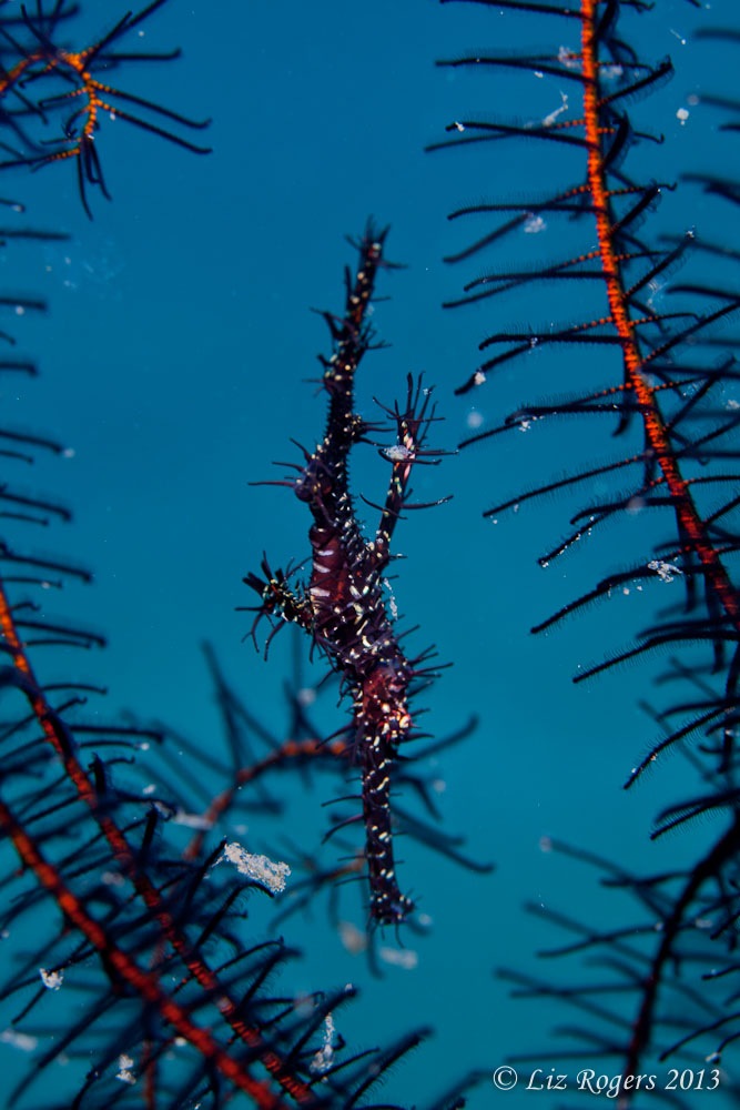 Ornate ghost pipefish by Liz Rogers