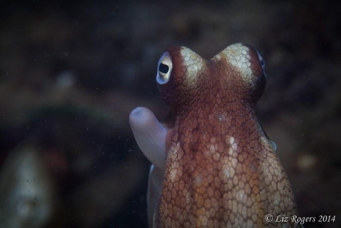 Octopus eyeball