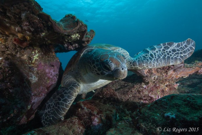 Loggerhead turtle at Julian Rocks