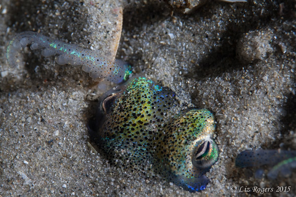 Bobtail squid buried