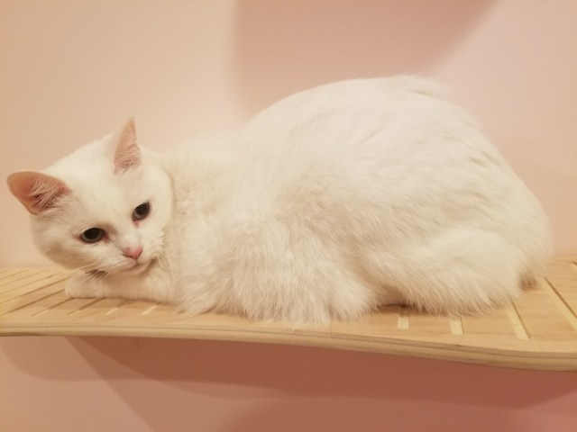 White cat on ContempoCat wall shelf