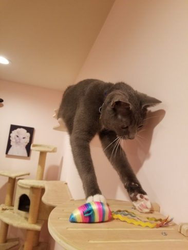 Cat playing on ContempoCat wall steps