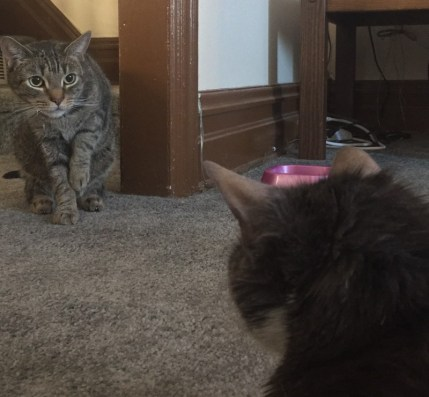 cats staring each other down