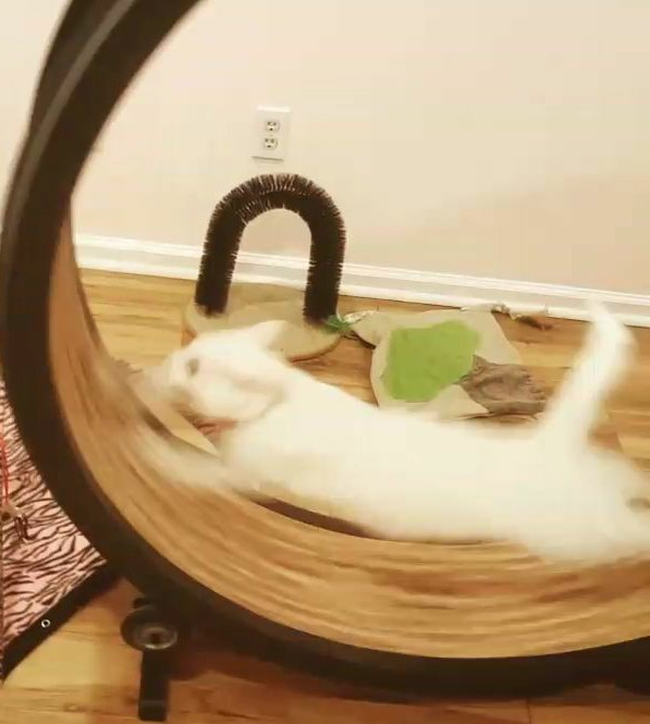 White cat running on wheel