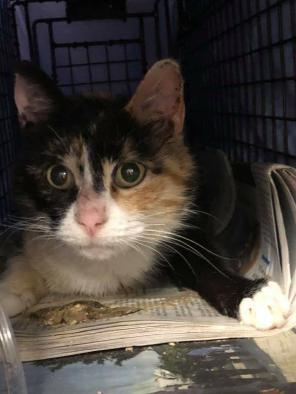calico cat in carrier