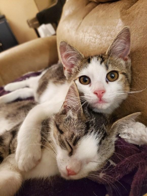 piebald kittens cuddling