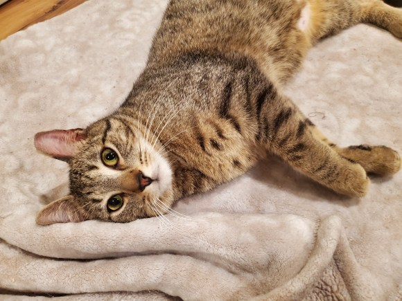 tabby cat laying on blanket