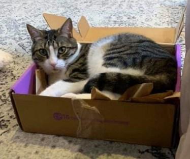 Piebald cat in box