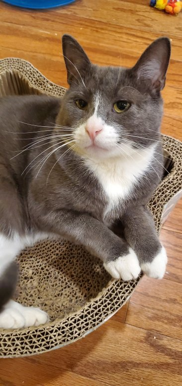 Gray and white cat in scratcher bed