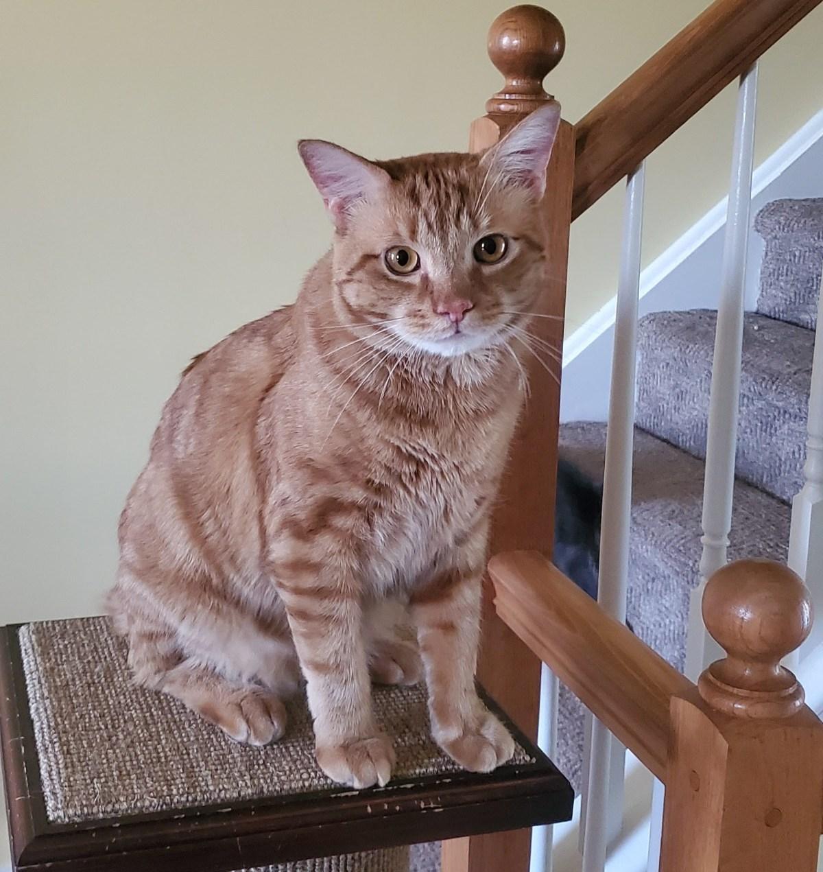 orange cat on stratcher
