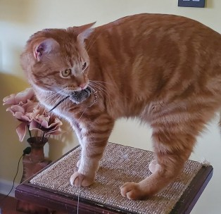 orange cat with toy mouse in mouth