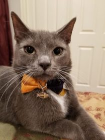 Gray and white cat in bow tie