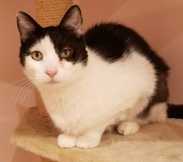 Black and white female cat