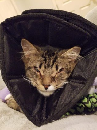 Kitten in cone of shame post eyelid reconstruction surgery