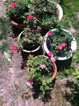 Tiffanie's Roses Before Planting