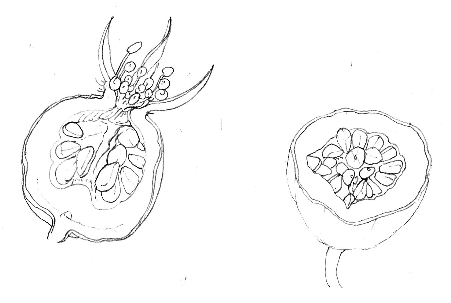 Cross Section Rosehip Diagram By Lizzie Harper