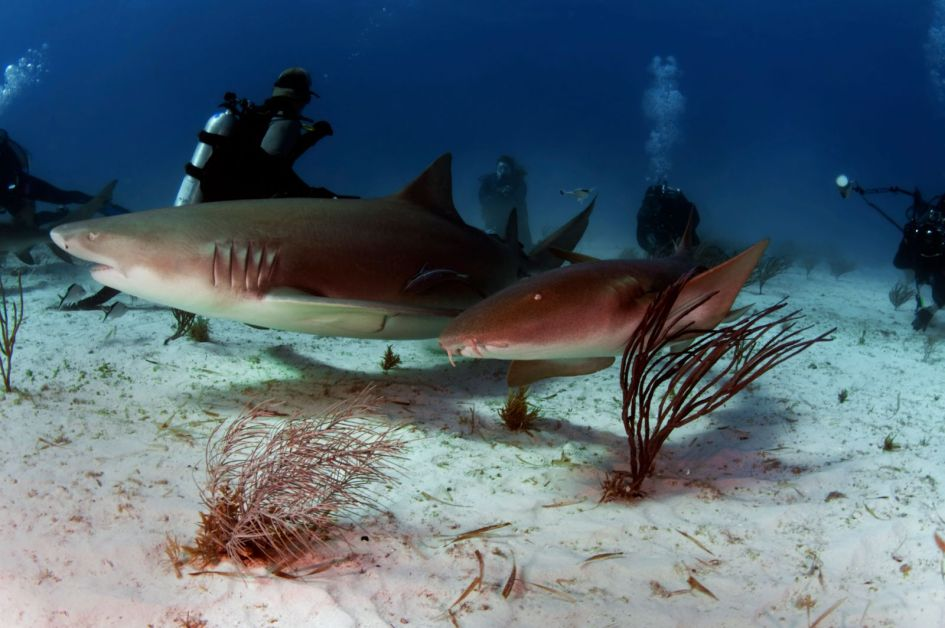 scuba diving with sharks of the bahamas
