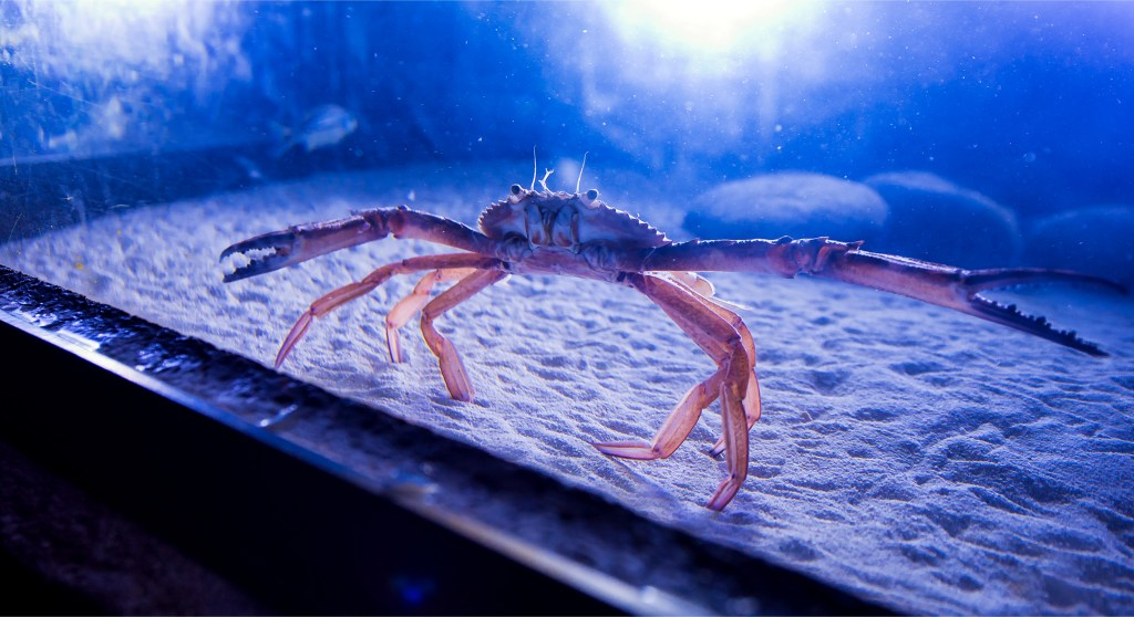 A crab that resides in the aquarium at Atlantis. Bahamas photos by Lizzy Davis.