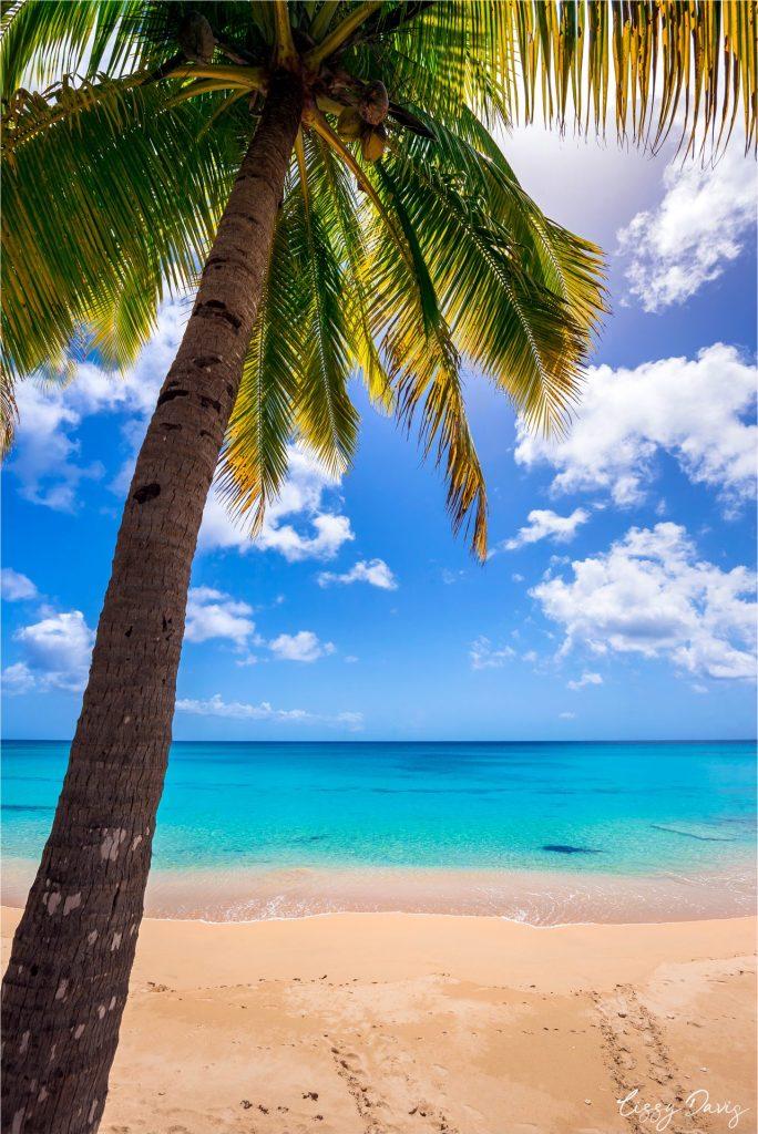 Coconut palm tree at Mullins Beach, Barbados.