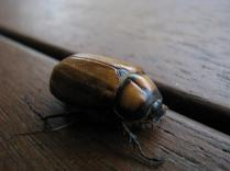 Christmas beetle 3