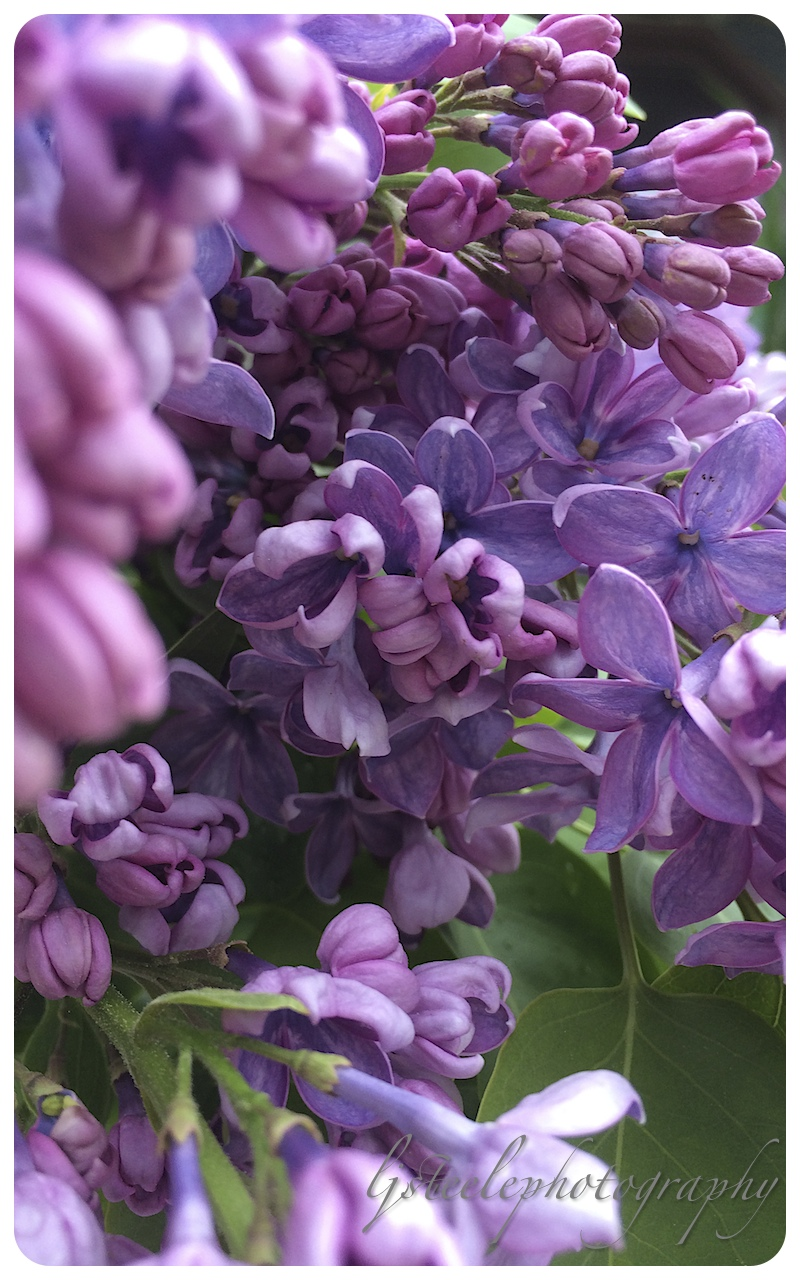 flowers…Lilac's up close.