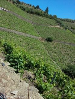 33 different varieties in the Lordelo Vineyard, Quinta da Gaivosa.