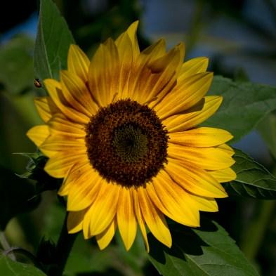 day 56 sunflower w ladybug 04822